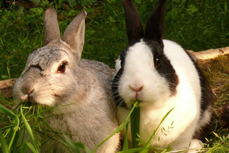 konijnen-eten